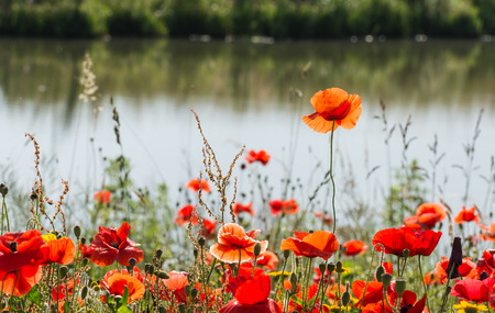 papaver rhoeas: Budding and flowering Poppy or Papaver rhoeas plants with seed boxes at the edge of the water at the end of a sunny summer day.