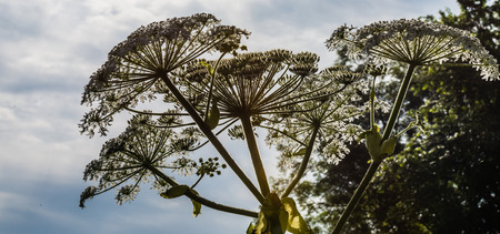 Closeup of white blooming Giant Hogweed or Heracleum mantegazzianum plants in their natural habitat. photo