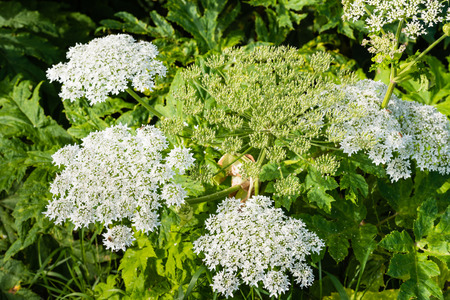 Closeup of a white blooming Giant Hogweed or Heracleum mantegazzianum plant and its seed heads. photo