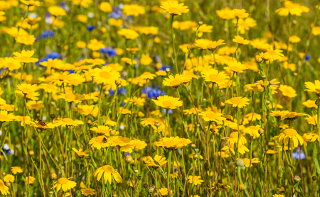 Closeup of yellow blooming corn daisy or Glebionis segetum plants in their natural habitat with other wildflowers  photo