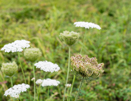 queen anne   s lace: Closeup of flowering Wild Carrot or Daucus carota plants in their natural habitat