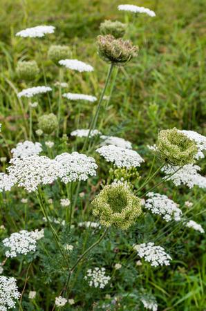 Close-up van bloeiende Wilde Wortel of wilde peen planten in hun natuurlijke habitat
