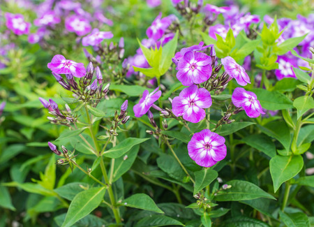 Closeup of budding and purple flowering Phlox paniculata plants in their natural habitat  photo