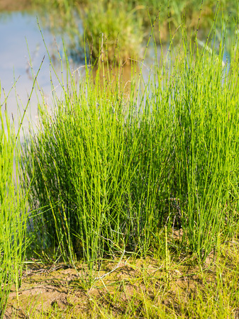 equisetum: Closeup of young Field Horsetail or Equisetum arvense plants in their natural habitat on the waterfront