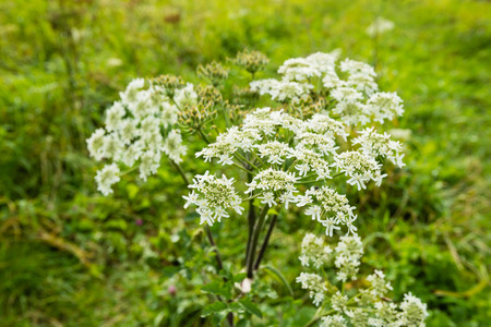 queen anne   s lace: Closeup of white blooming and budding Wild Chervil or Anthriscus sylvestris plants in their natural habitat  Stock Photo