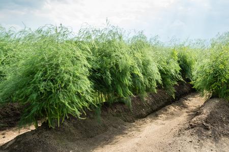 植物の列のアスパラガス アスパラガス夏野菜の収穫の後で。