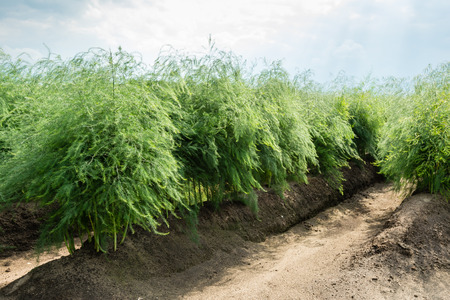 Rows of Asparagus officinalis plants in summertime after harvesting the vegetables. Stockfoto