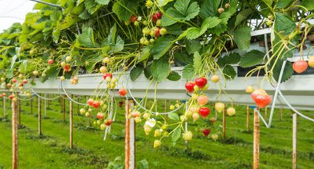 Outdoor substraat teelt van aardbeien onder plastic folie op een voor de plukkers ergonomische hoogte. Stockfoto