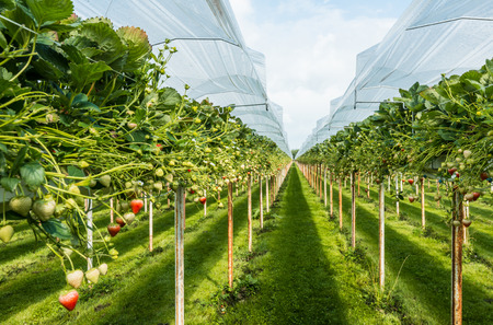 Outdoor substrate cultivation of strawberries under plastic film on a for the pickers ergonomic height. Stockfoto