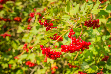 guelder: Closeup of bunches of red berries of a Guelder rose shrub on a sunny day at the end of the summer season.