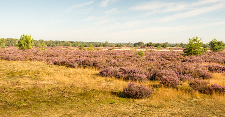 heathland: Panoramic landscape on a sunny day in the summer season with lilac blooming heather.