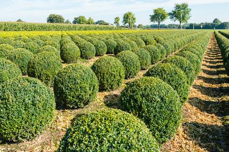 globular: Nursery with many globular Buxus shrubs in rows on a sunny day in the summer season.