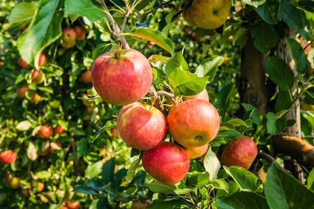 Rote Äpfel am Baum hängen und bereit für die Kommissionierung.