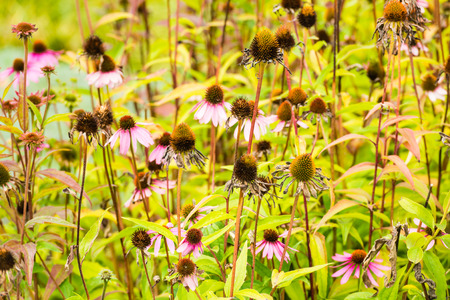 coneflowers: Blooming and overblown pink Coneflowers or Echinacea purpurea plants in the early autumn season.