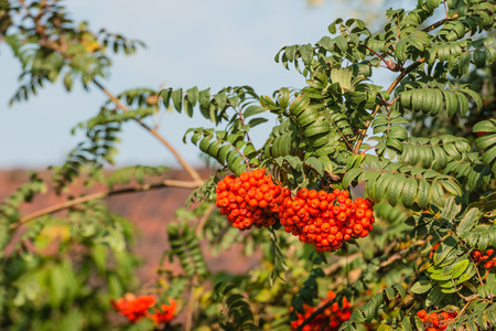 Closeup of orange colored berries of an European Rowan or Sorbus aucuparia tree on a sunny day in the early autumn season. photo
