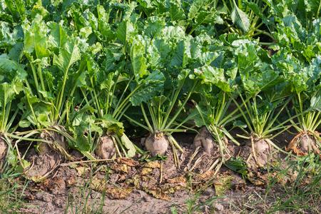 Close-up van biologisch geteelde suikerbieten planten en onkruid in een gebied van droge kleigrond Stockfoto