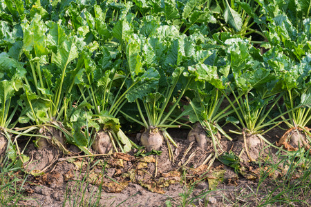 Closeup of organically cultivated sugar beet plants and weeds in a field of dry clay soil