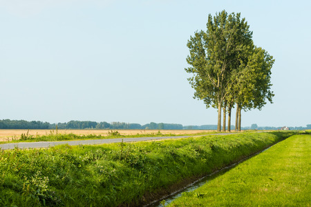 Row of five tall trees beside a country road and a straight ditch in a Dutch polder landscape during the summer season.. photo