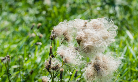 cursed: Closeup of feathery pappus and overblown flowers of Creeping Thistle or Cirsium arvense plants in their natural habitat in th end of the summer season.