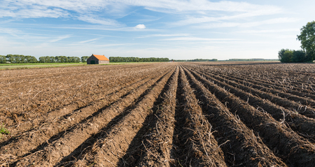 Old brick barn with an orange tiled roof in a large field with dead potato tops on the ridges of clay. It is autumn and the harvest of potatoes is about to begin. photo