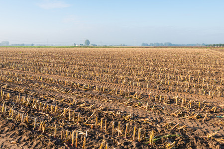 Large stubble field after the harvest of forage maize on a sunny morning in the autumn season.
