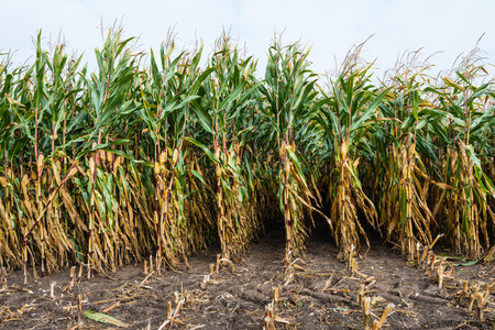 agribusiness: Closeup of ripe forage maize on the field halfway through the harvest