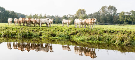 White and light brown cows are reflected in the smooth as a mirror surface of a narrow river. photo