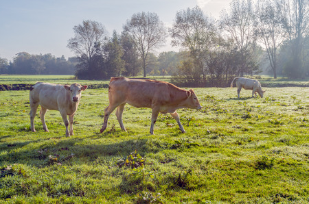 Beige and light brown cows in fresh grass covered with dew early in the morning in the fall season. photo