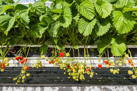 Ripening of strawberries from hydroponically cultivated plants at a convenient picking height in a specialized Dutch greenhouse horticulture business. photo