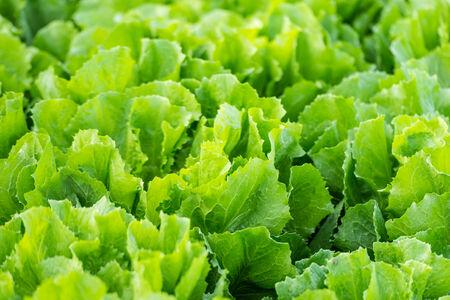 escarola: Primer plano de la endibia o Cichorium endivia plantas listas para la cosecha. Foto de archivo
