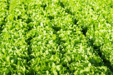escarole: Closeup of Endive or Cichorium endivia plants ready for harvesting.