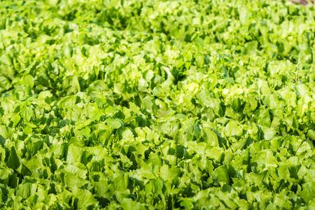 andijvie: Close-up van Andijvie of Cichorium endivia planten klaar voor de oogst.