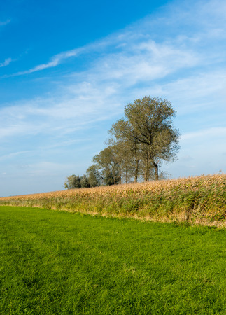 Agricultural landscape with ripe silage maize on a sunny day in the fall season. photo