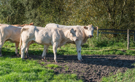 heifers: Heifers enjoying the early morning sunlight on a beatiful day in autumn. Stock Photo