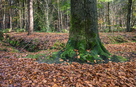 Forest floor covered with brown-orange colored fallen tree leaves around a tree trunk covered with green moss in the fall season. photo
