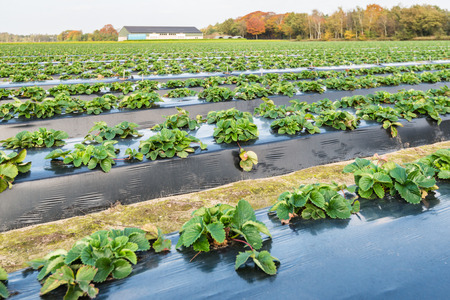 Strawberry plants outside in long lines growing up with black plastic film covered ground to a specialized strawberry nursery