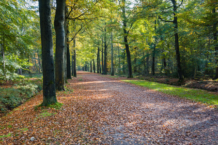 Picturesque forest road covered with fallen leaves and between old beech trees in an old forest  on a sunny day in the fall season. photo