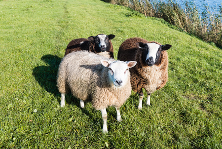 Portrait of three sheep with winter coat standing on the banks of river on a sunny day in the fall season. photo