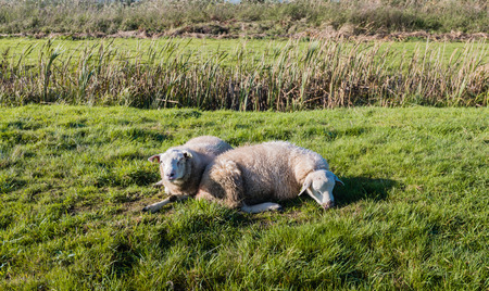 looking around: One sheep sleeping on the grass on a sunny day in the fall season while another sheep is vigilant looking around. Stock Photo