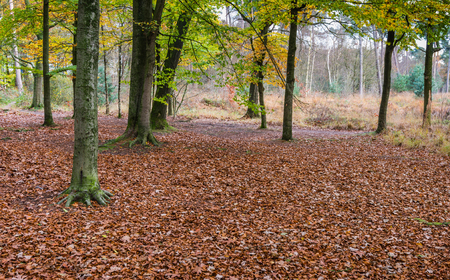 brassy: An oak grove with a bottom covered with lots of brassy fallen leaves Stock Photo