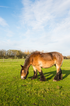 belgian horse: Brown Belgian horse grazing in a sunny Dutch meadow. Stock Photo