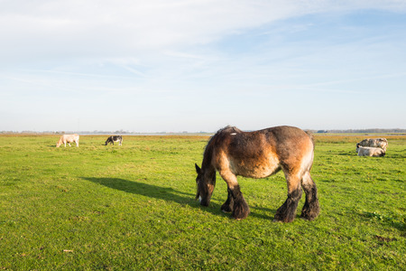 belgian horse: Brown Belgian horse grazing in a sunny Dutch meadow together with cows.