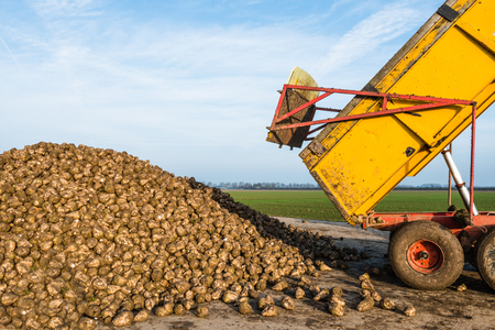 dumps: A yellow dumper dumps sugar beets on a heap beside the field awaiting transport to the sugar factory.