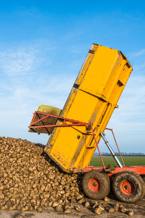 dumps: A yellow hydraulic dumper dumps sugar beets on a heap beside the field awaiting transport to the sugar factory. Stock Photo