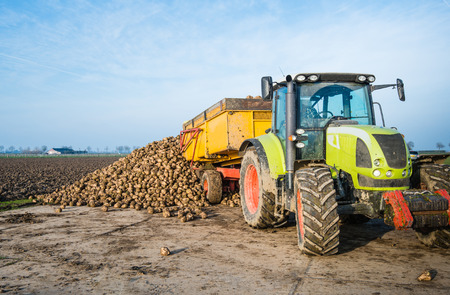 dumps: A yellow dumper pulled by a tractor dumps sugar beets on a heap beside the field awaiting transport to the sugar factory. Stock Photo