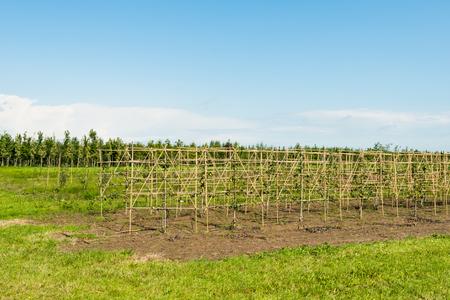 arbres fruitier: P�pini�re de jeunes arbres fruitiers dans la saison estivale. Banque d'images