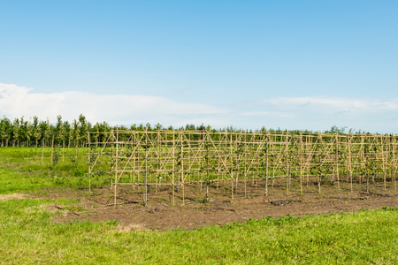 two dimensional: Tree nursery with young fruit trees in the summer season.