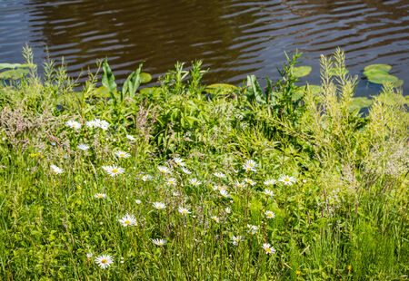 shasta daisy: Oxeye daisies between the grass and various weeds at the waterside on a sunny day in spring.