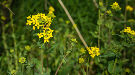 arvensis: Closeup of yellow blooming wild mustard or Sinapis arvensis with a bee. Stock Photo