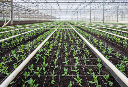 Large greenhouse full of small Lisianthus plants. photo